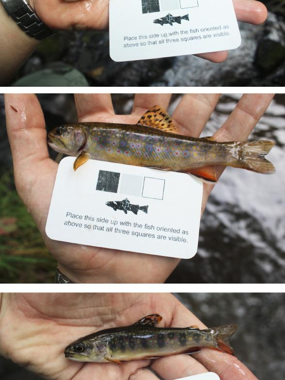 3 trout