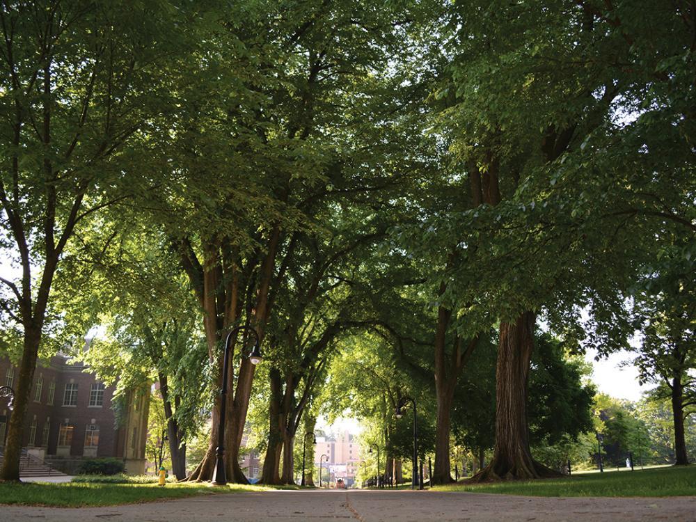 The elms near Old Main