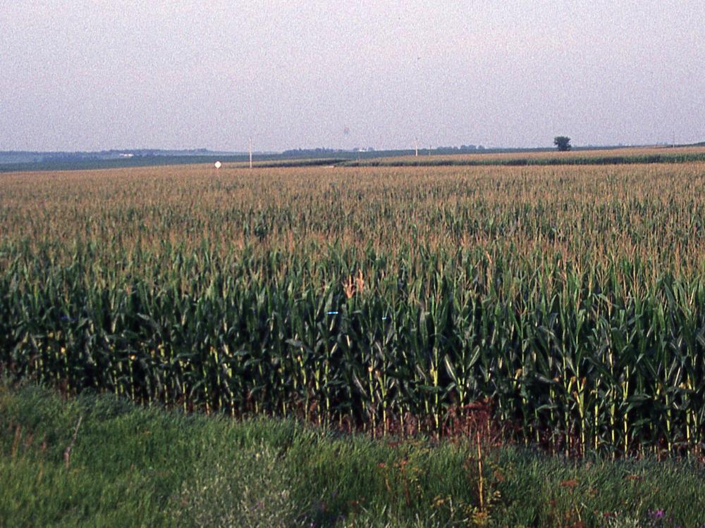 Iowa corn landscape