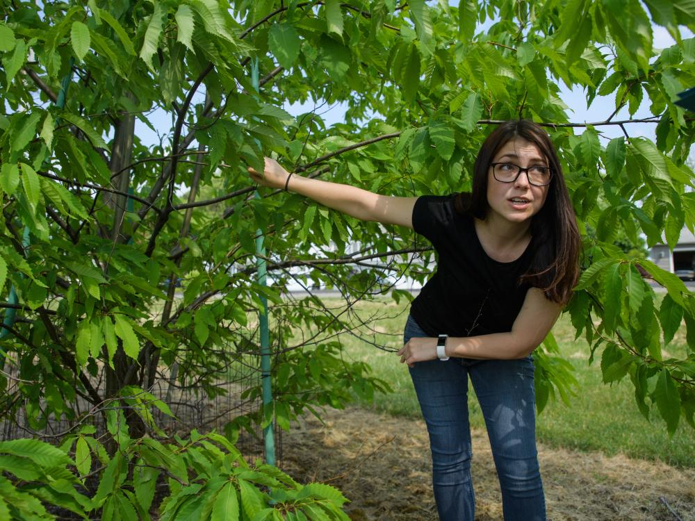 Graduate student Emily Dobry shows damage on an American chestnut tree