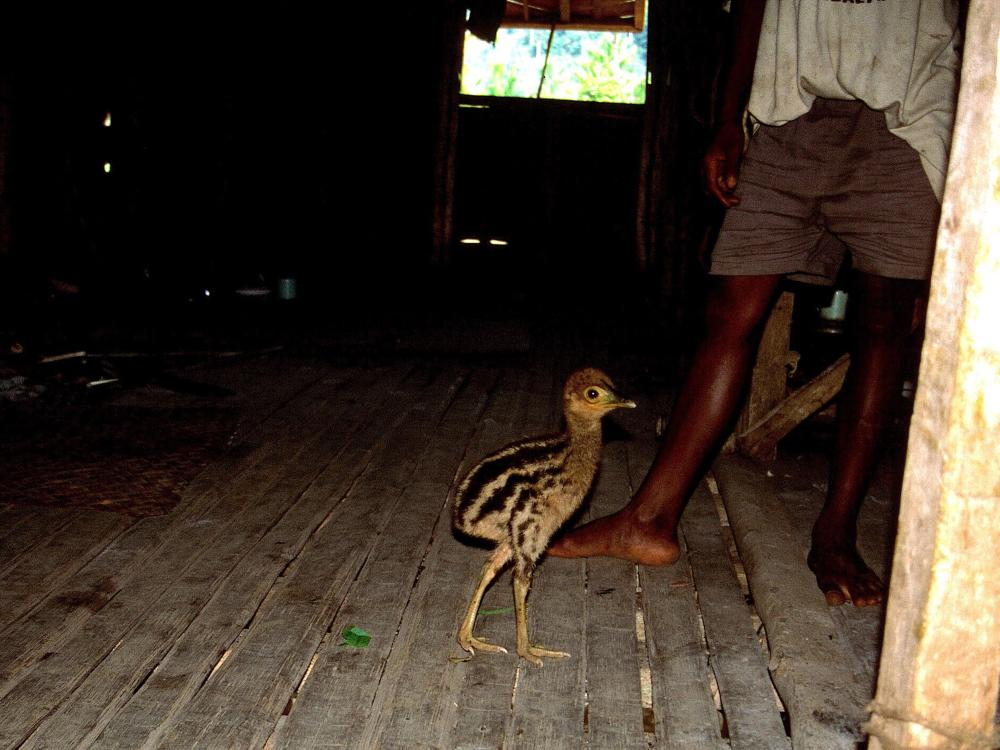 scrawny looking brown cassowary chick on a wood floor