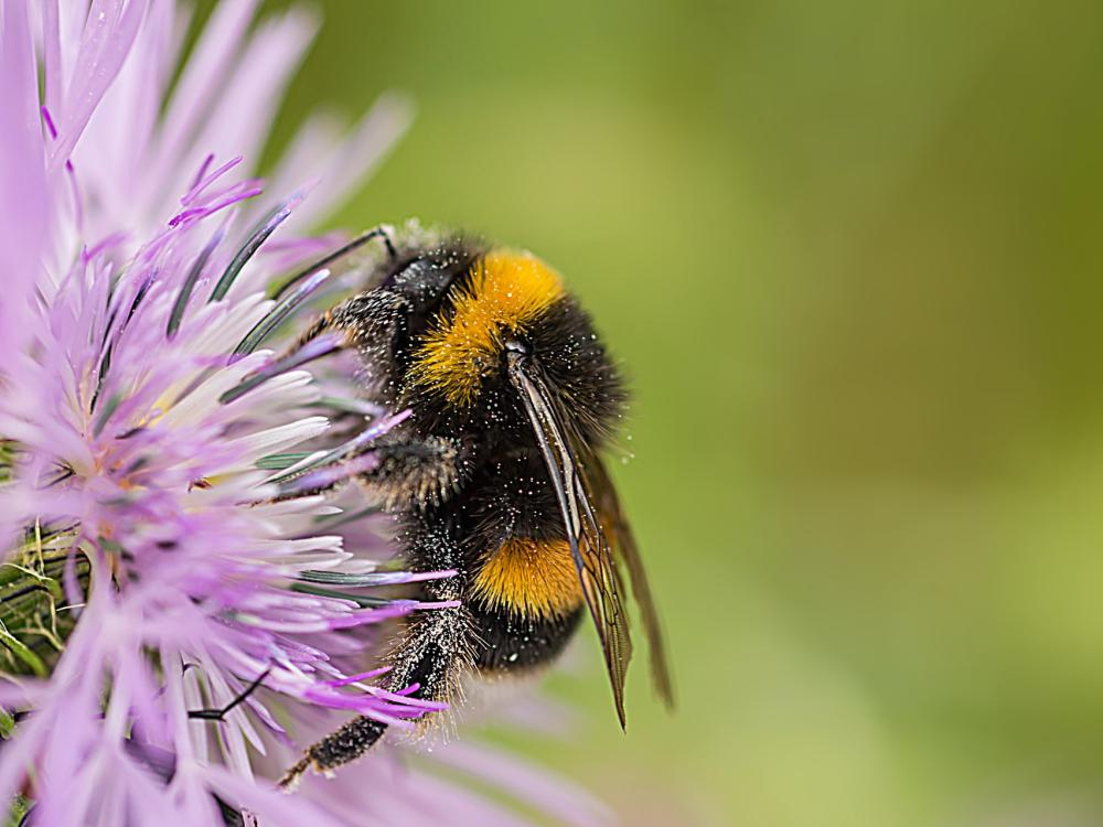 Bumble Bee at flower