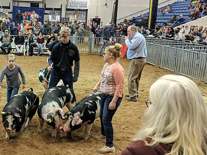 showing hogs at farm show