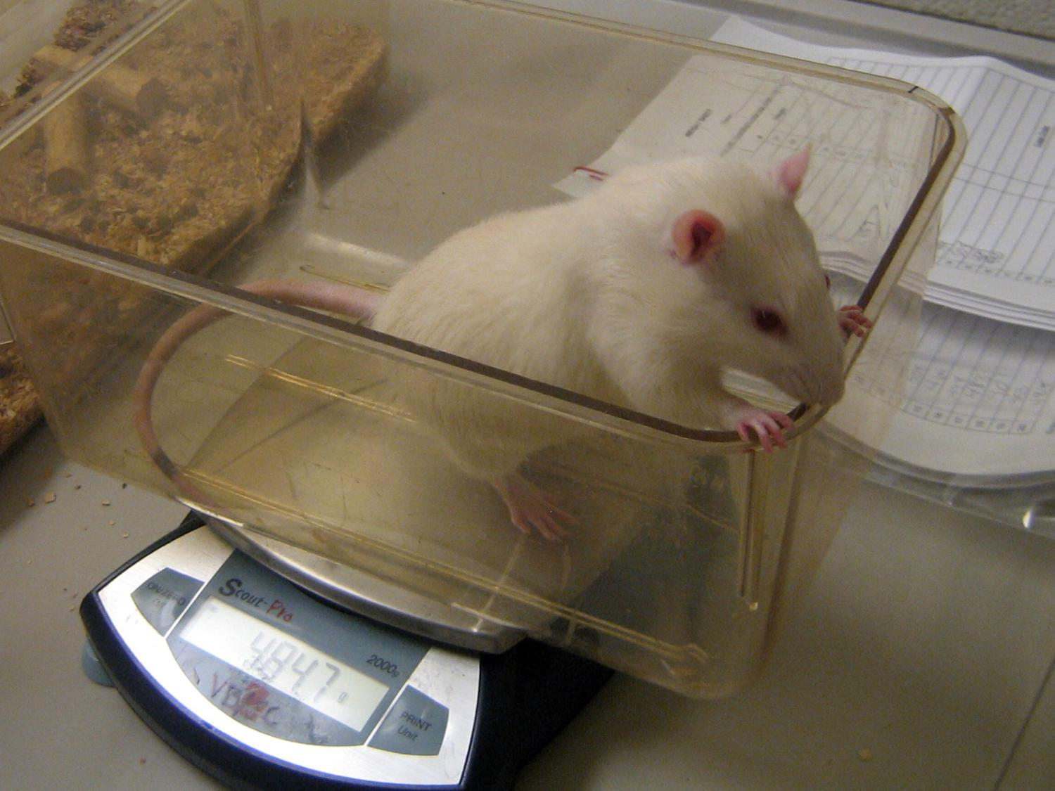 mouse on a scale