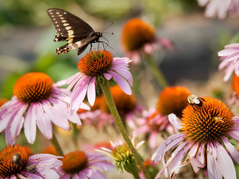 Solar farm pollinator project
