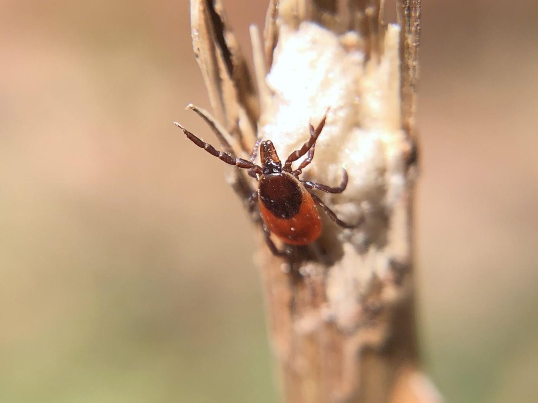 """""""questing"""" female Ixodes scapularis"""