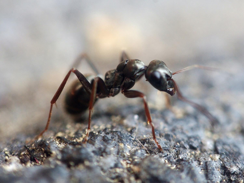 Black ant -- IPM Committee Penn State